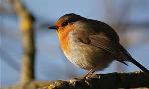 chubby robin red breast looks ready for christmas perched