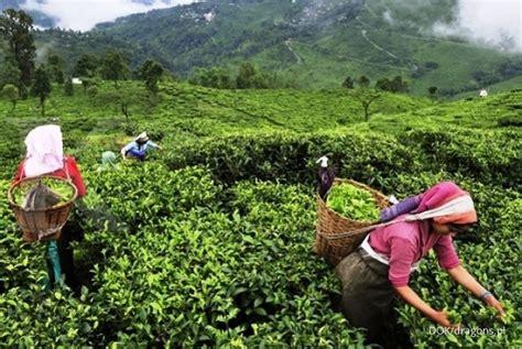 Jual Teh Pucuk Harum harga teh kembali harum