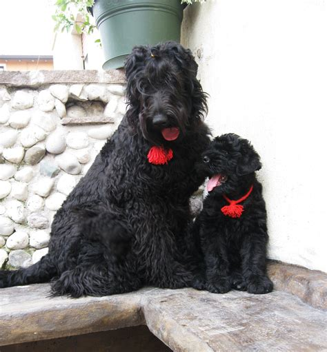 black russian 1000 images about black russian terrier on pinterest