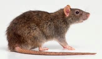 biotechniques stranger than fiction to kill a rat