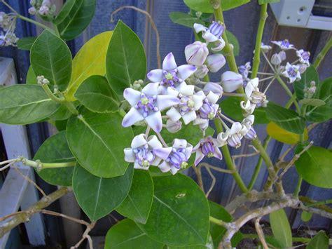 wikipedia tanaman  serbi tanaman widuri info