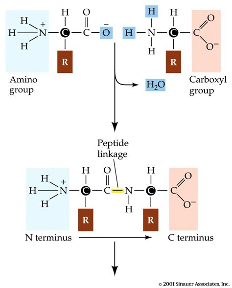 diagram of peptide bond biologyatsandringham licensed for non commercial use only