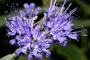 Plants Pests And Diseases - caryopteris x clandonensis hortipedia