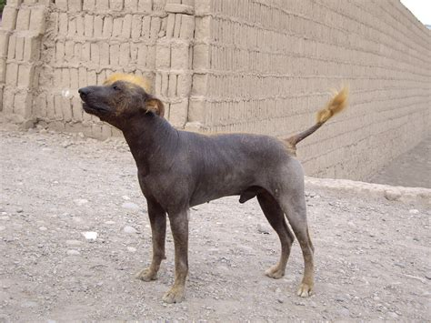 cat puppy up and personal with the hairless dogs of peru i spyer