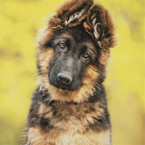 German Finder Where Can You Find German Shepherd Puppies Dogs Our Friends Photo