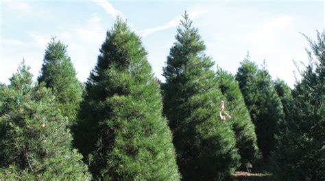 oklahoma christmas trees oklahoma farm ranch