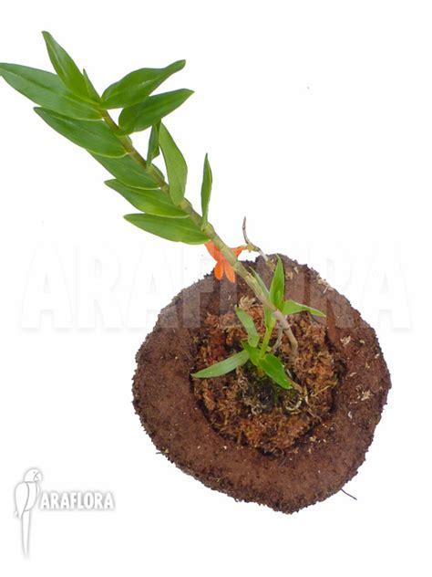 Panci Kalakat 40 Cm Orchid Limited 1 araflora flora more orchid dendrobium mohlianum