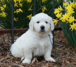 white golden retriever puppies for sale white golden retriever puppies for sale golden retriever breeder southern charm