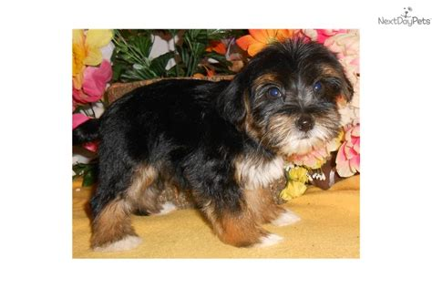 yorkie puppies chicago meet yorkie a terrier yorkie puppy for sale for 700 chicago