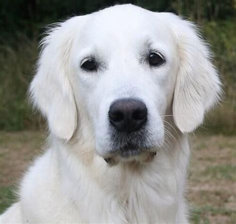 what colors do golden retrievers come in best 25 golden retrievers ideas on