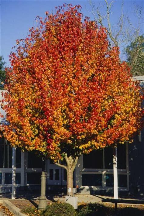 ornamental pear tree fruit aristocrat pear is an outstanding medium sized ornamental