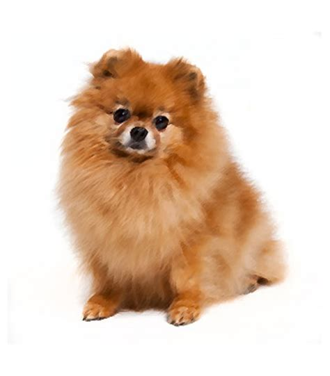 how many types of pomeranians are there small breeds