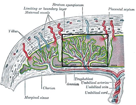 diagram of a placenta placenta diagram placenta free engine image for