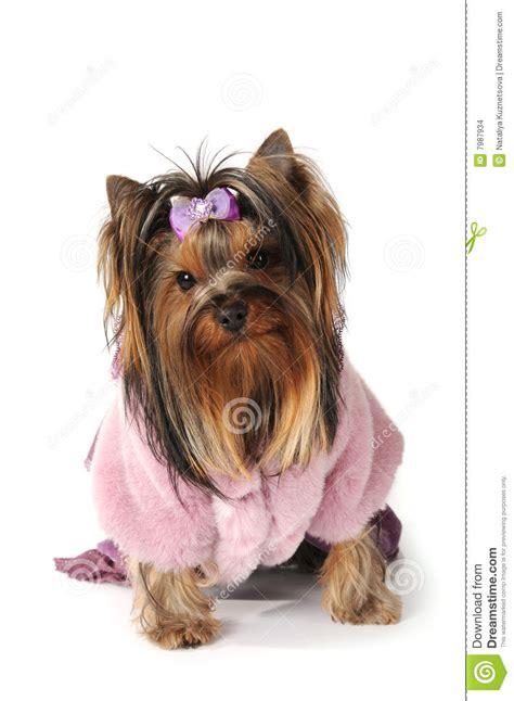 yorkie puppy coat terrier in pink fur coat stock images image 7987934