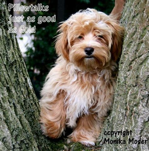 small havanese 25 best ideas about cutest small dogs on small dogs cutest small breeds and small labradoodle