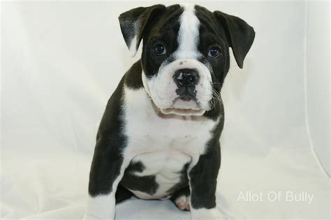 black and white bulldog puppy black and white bulldog puppy for sale allot of bullyallot of bully