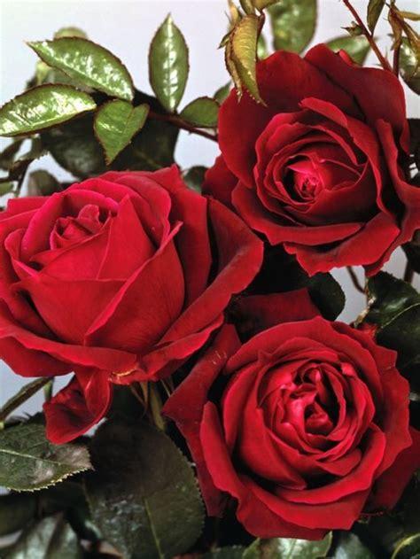wallpaper bunga mawar indah kumpulan gambar bunga mawar indah diary apipah