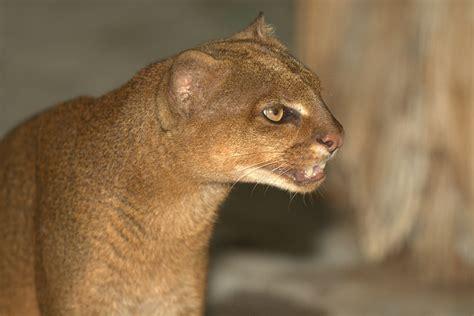 imagenes jaguarundi otter cat rate every animal