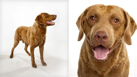 golden bay retriever chesapeake bay retriever breed selector animal planet