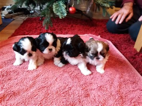 shih tzu puppies wirral 1beautiful shih tzu puppy for sale 3 now sold wirral merseyside pets4homes