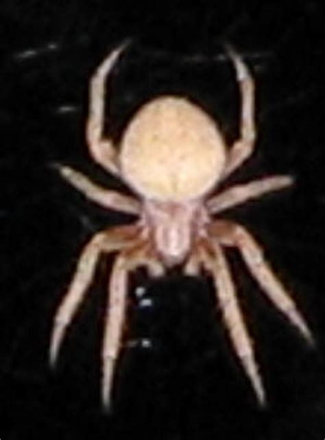 Garden Spider New Mexico Spiders At Spiderzrule The Best Site In The World About