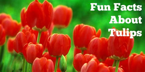fun facts about tulips the rambling rose