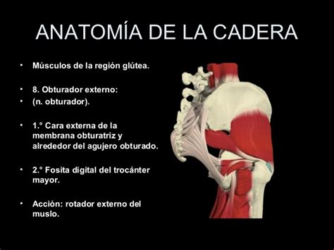 anatomia de la cadera anatomia de cadera 3