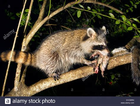 north american raccoon procyon lotor eating a killed