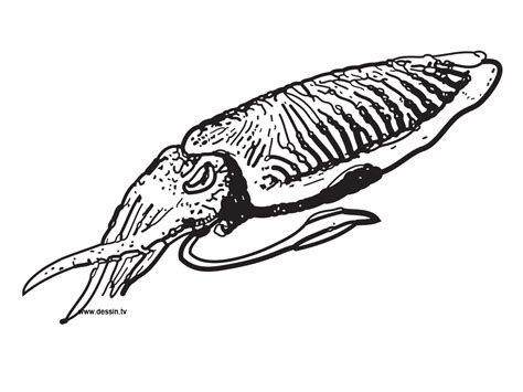 Cuttlefish Drawing Clipart Best Cuttlefish Coloring Pages