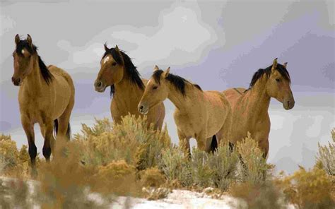 mustang horse kiger mustang wallpaper farm animals nature