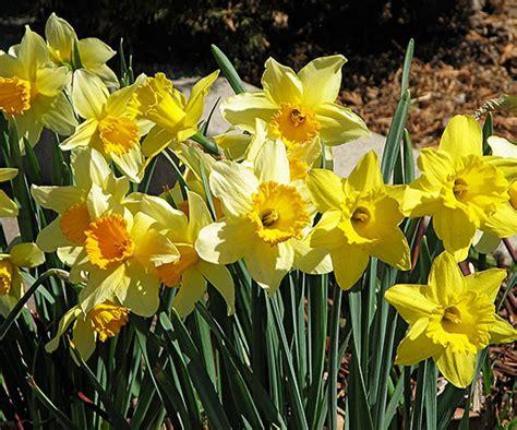 deer resistant daffodils in the test garden
