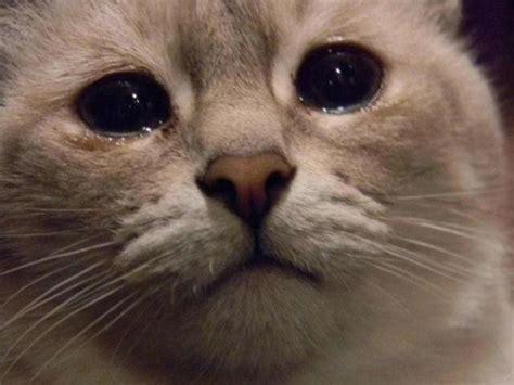 imagenes de gatitos llorando los 10 gatitos m 225 s triste de internet planeta curioso