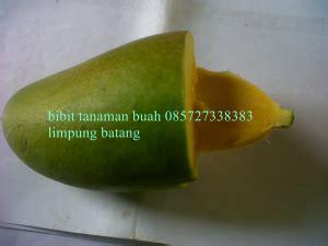 Jual Bibit Mangga Nam Dok Mai bunga kiojay bibit tanaman buah