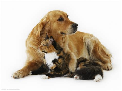 cat and golden retriever cat and golden retriever cats and friends hd widescreen wallpapers