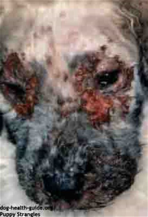 strangles in dogs puppy pimples and skin diseases pictures causes and treatment