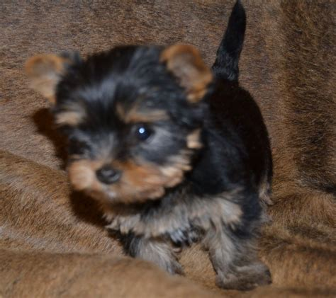 miniature yorkie puppies for sale in miniature yorkie pup for sale breeds picture