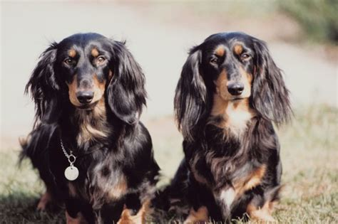 haired weiner facts about miniature haired dachshunds pets