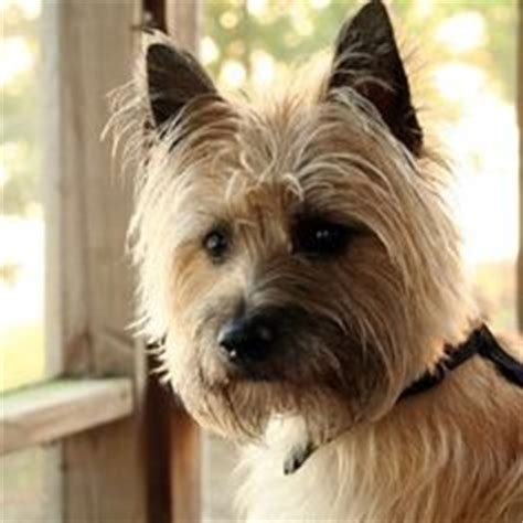 cairn terrier show cut cairn terrier after grooming this is a great cut for or