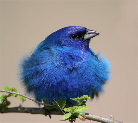 indigo bunting 171 plenty of colour