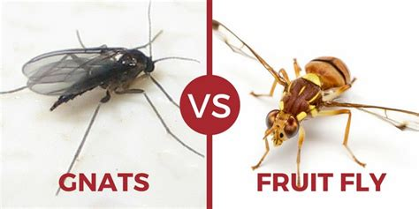 images of fruit flies pictures of fruit flies and gnats house of ara