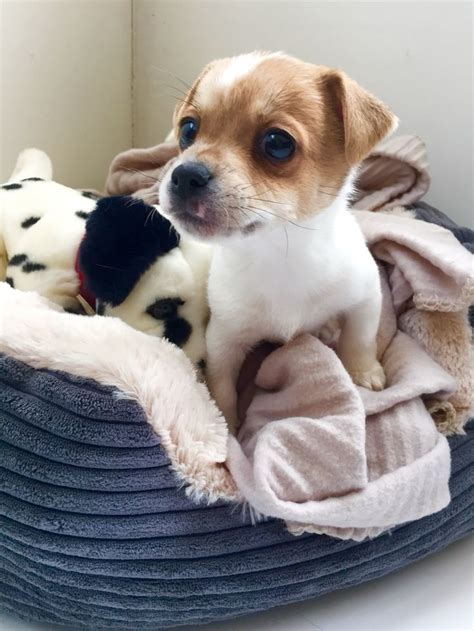 jackhuahua puppies 17 best images about jackhuahua heaven xx on chihuahuas chihuahua dogs