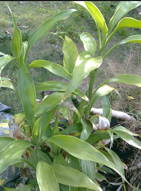 Jual Bibit Bambu Hoki jual bibit tanaman bambu hoki bambo rejeki hockey kole