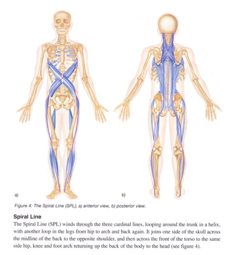 cadenas musculares thomas myers pdf anatomy trains explained what is the spiral line www