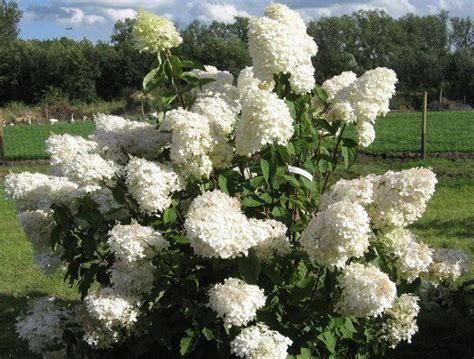 Hydrangea Paniculata Phantom 5200 by Hydrangea Gammon S Garden Center Landscape Nursery