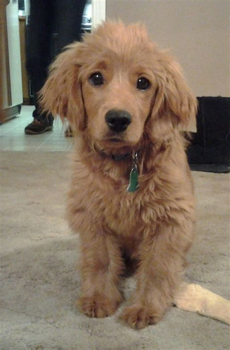 the forever puppy an golden cocker retriever the quot forever quot puppy golden cocker retriever animal and dog