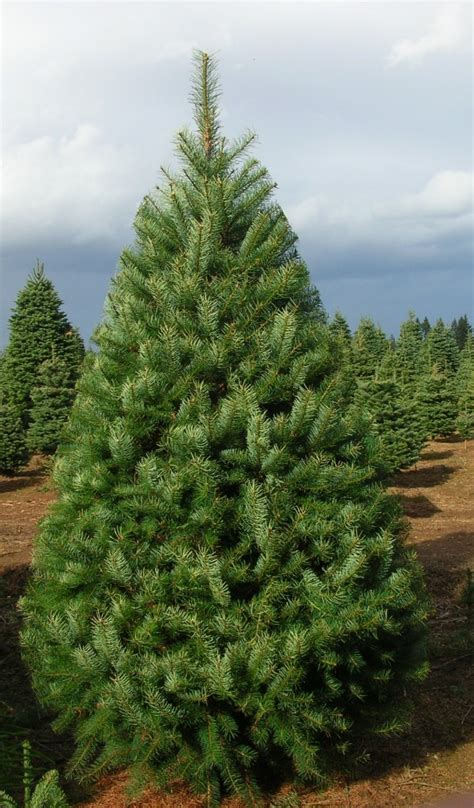 28 best douglas fir christmas tree care noble fir