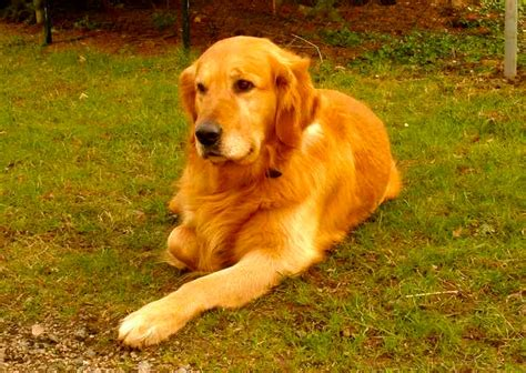 expectancy of golden retrievers perros de raza golden retriever thinglink