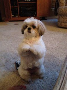 how to teach shih tzu tricks shih tzu daily 19 must follow shih tzus on instagram