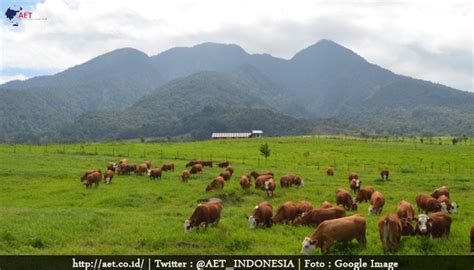 Bibit Sapi Di Sumatera Barat sumbar punya peternakan sapi setara dengan australia