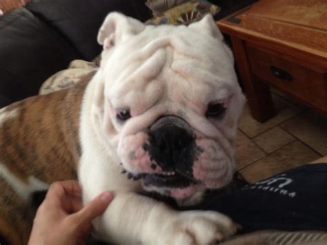 florida rescue bulldog tails images breeds picture